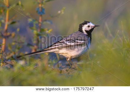 White Wagtail In Grassland