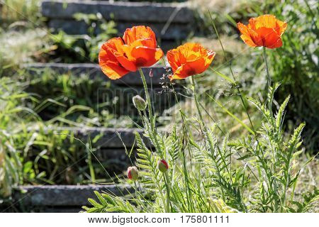 Red poppies on a staircase near the small village of Melsted on Bornholm Denmark