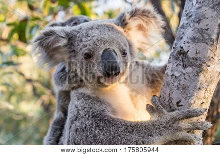 Wild Koala mother with baby, Magnetic Island, Queensland, Australia