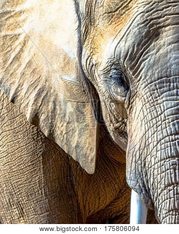 Close up of the face of an African elephant Loxodonta africana.