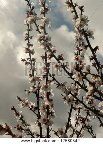 These plum blossoms are close up on a twig against a cloudy sky in spring