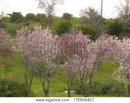 pink blossomed plum trees bloom near a freeway overpass on an overcast morning