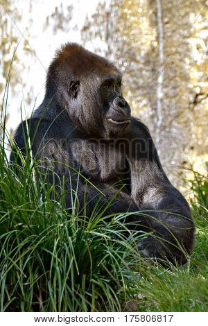 Huge Silver back gorilla sitting in the grass pondering life