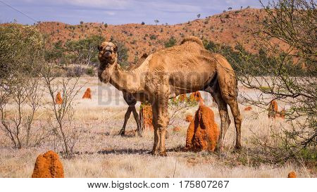 Wild camel in the Australian Outback with red terminte hills landscape