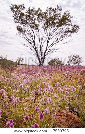 Pink Mulla Mulla Wildflowers blooming in Australian Outback with tree in background