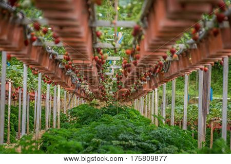 Strawberry fruits in row on plants on strawberry farm