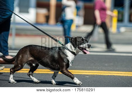 Mixed breed Jack Russel dog pulling on leash during walk.