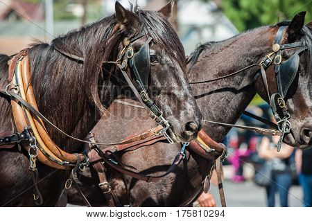 Brown workhorse heads pulling against their harness.