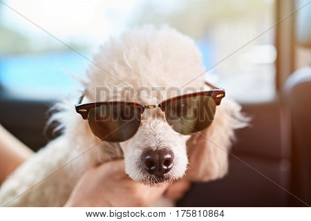 White Poodle In Sunglasses