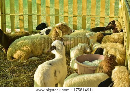 Sheep and lamb lying on straw in a stable