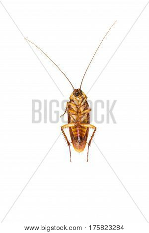 Dead cockroach isolated on a white background/Roach tip over Death