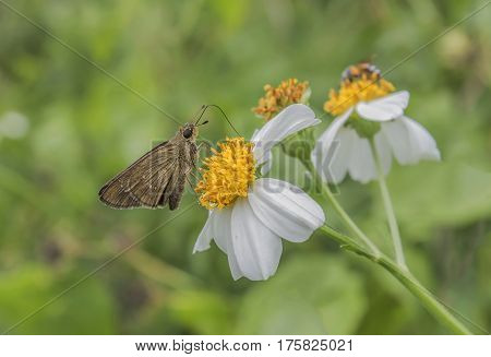 Brown butterfly The sweet nectar of flowers.