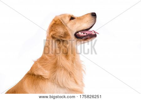 Golden Retriever adult sideview portrait isolated on white background