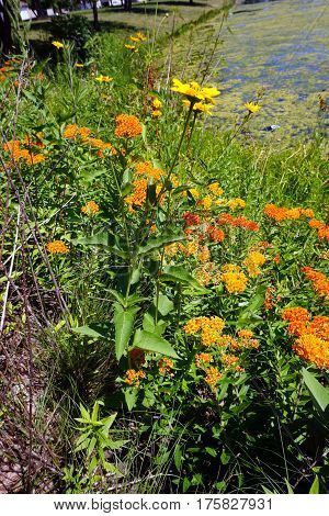 A prairie rosinweed flower (Silphium integrifolium), also known as the whole-leaf rosinweed and the entire-leaf rosinweed, blooms among orange butterfly weed flowers (Asclepias tuberosa), next to a small lake during June in Joliet, Illinois.