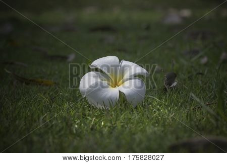 Plumeria White on green grass ( Plumeria spp )