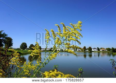 Canada goldenrod flowers (Solidago canadensis) bloom next to a small lake in Joliet, Illinois during September.