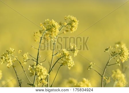 Closeup of Yellow Canola Plant in Spring