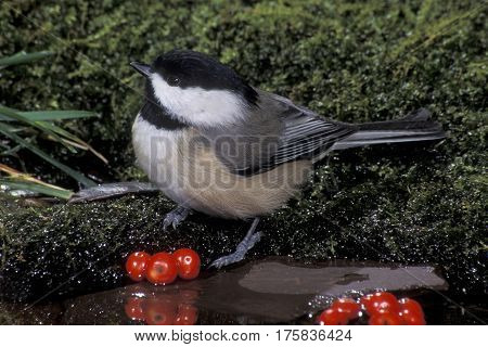 A Carolina Chickadee, Poecile carolinensis drinking at a small pond with red berries