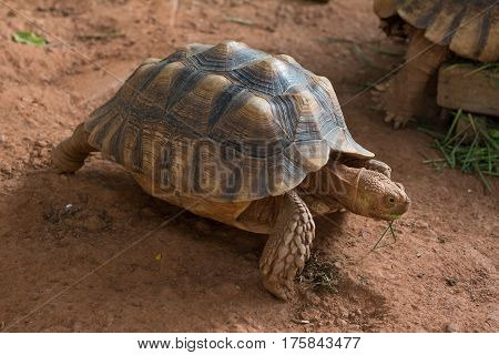 Sulcata tortoise African spurred tortoise (Geochelone sulcata) is one of the largest species of tortoise in the world.