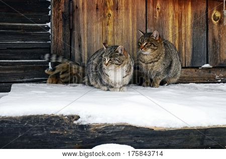 Two cats sit on a wooden snowy porch
