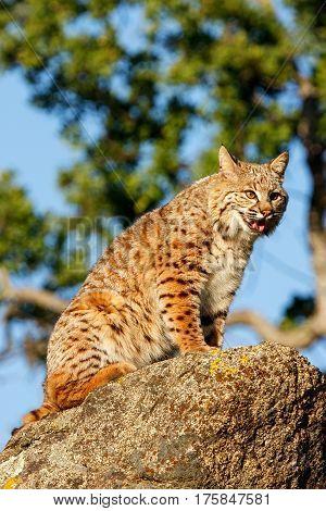 Bobcat Sitting On A Rock