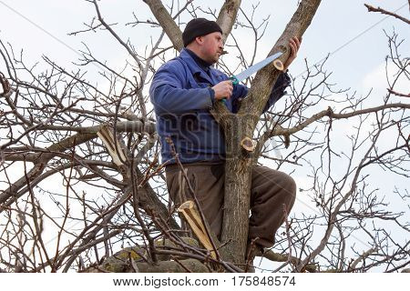 Gardener in a blue shirt with a saw in his hand sits on a high tree in the early spring