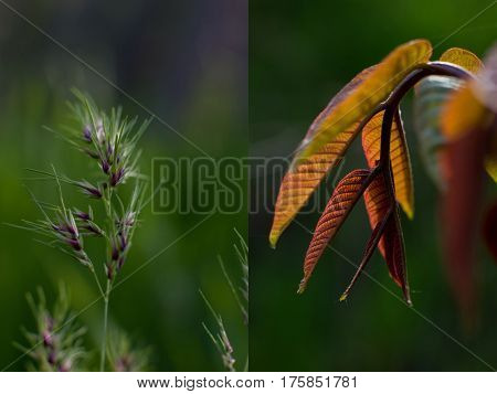 Fresh spring motives in several close-up pictures with shallow depth: green purple spica and branch of illuminated newborn orange walnut leaves