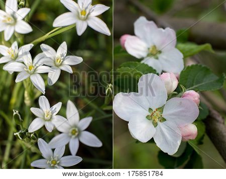 Fresh spring motives in several close-up pictures with shallow depth: white flowers of Ornithogalum and white pink flowers of pear (Pyrus) blossom