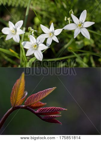 Fresh spring motives in several close-up pictures with shallow depth: white flowers (Ornithogalum) on geen background and branch of orange red newborn walnut leaves on blurry background