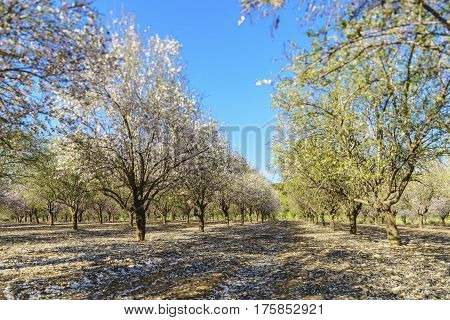 Agricultural landscape a garden with flowering fruit trees
