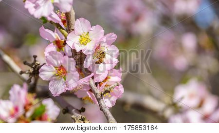 Blossoming peach tree branch close up spring
