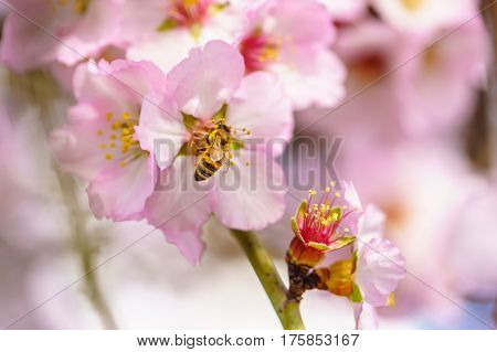 Blossoming peach tree branch close-up, spring season