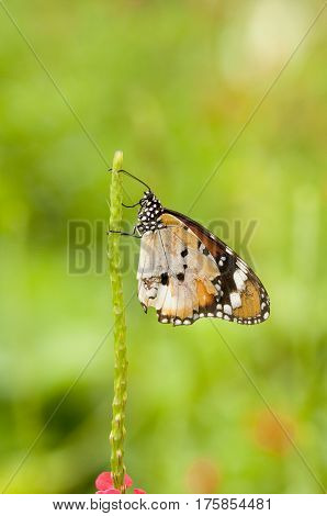 Plain tiger butterfly (Danaus chrysippus form alcippoides) with broken wing is resting a plant