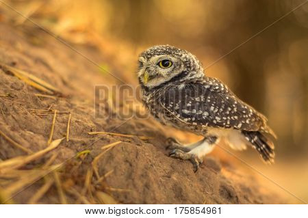 young spotted owlet in wildlife sunlight background