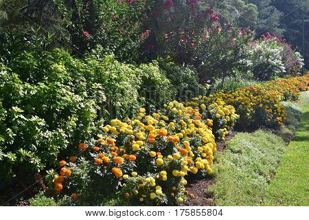 springtime flower bed of yellow and orange marigolds in botanic gardens under afternoon sun