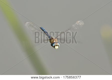 dragonfly in fliht over pond ich Chropyně town