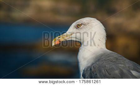 Portrait of seagull at the Boca do Inferno rock near Cascais, Portugal