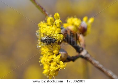 Big fly on yellow flowers in spring. You can find fly on flowers.