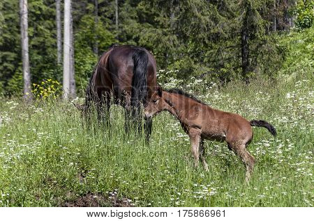 Horse and foal eating grass at a green meadow