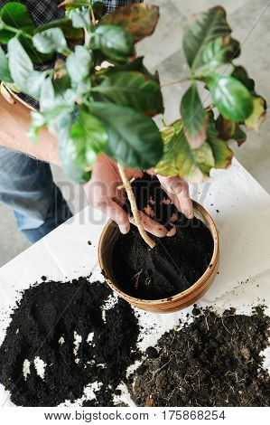 Replanting houseplant. A man puts new soil in a pot with the plant.