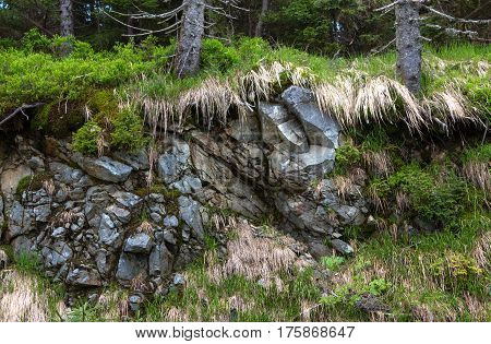 Old dry Fir trees in mountains growing on rocks