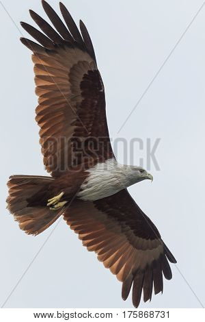 Brahminy kite flying over the river looking out for prey