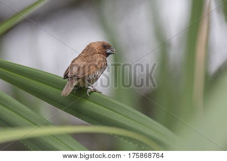 Scaly-breasted munia sitting on a palm leaf