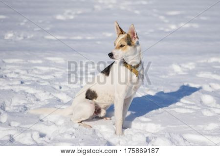 Portrait of cute mixed breed white dog with black spots sitting on a fresh snow at sunny winter day