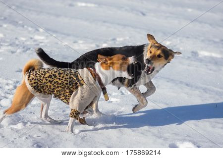 Basenji male dog attacking mixed-breed female dog on a fresh snow