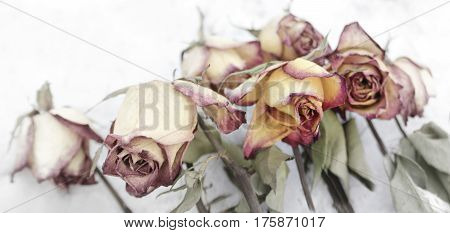 faded and tinted roses on white background faded flower concept mourning motif