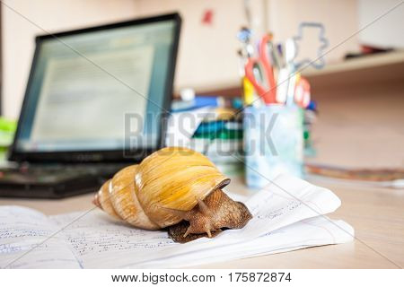 Giant african snail Achatina as a pet at home