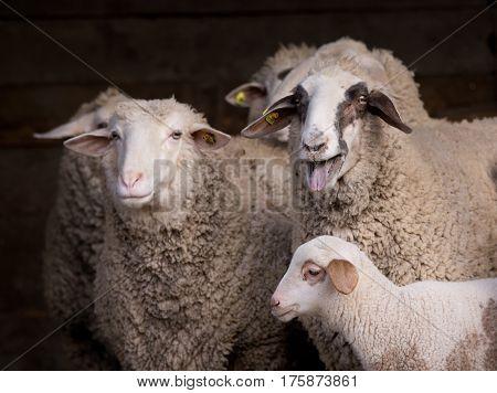 Sheep Flock In Barn