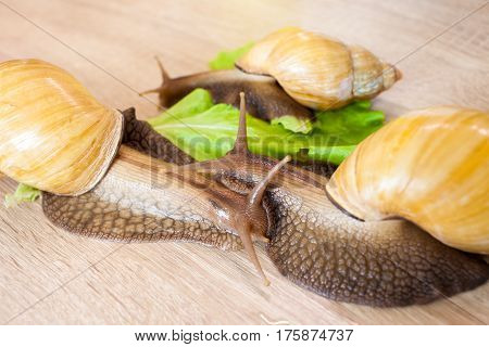 Three giant african snail Achatina in the kitchen