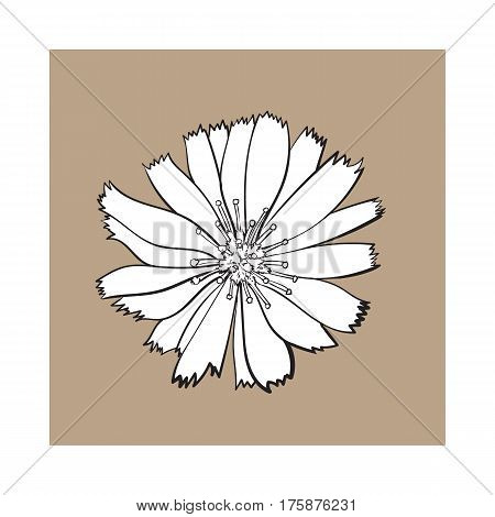 Open black and white chicory wild flower head, top view, sketch style vector illustration isolated on brown background. Realistic top view hand drawing of wild, field chicory flower